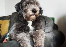 Beardoodle Dog Breed Information All You Need To Know