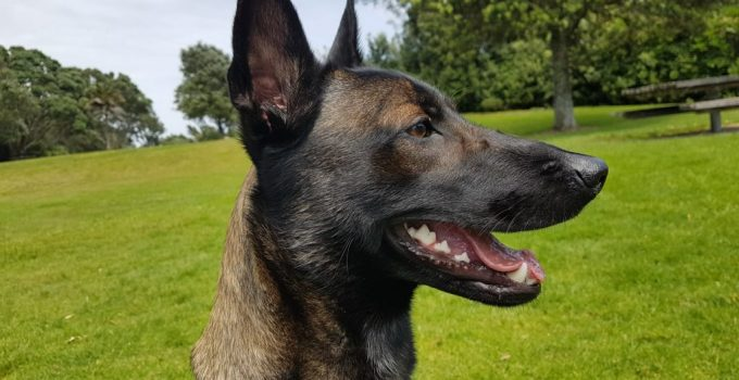 Belgian Laekenois Dog Breed Information All You Need To Know