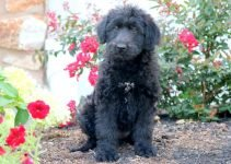 Belgian Sheepadoodle Dog Breed Information – All You Need To Know