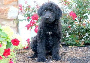 Belgian Sheepadoodle Dog Breed Information All You Need To Know