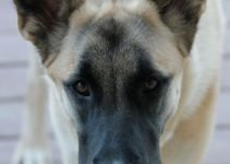 Belusky Dog Breed Information All You Need To Know