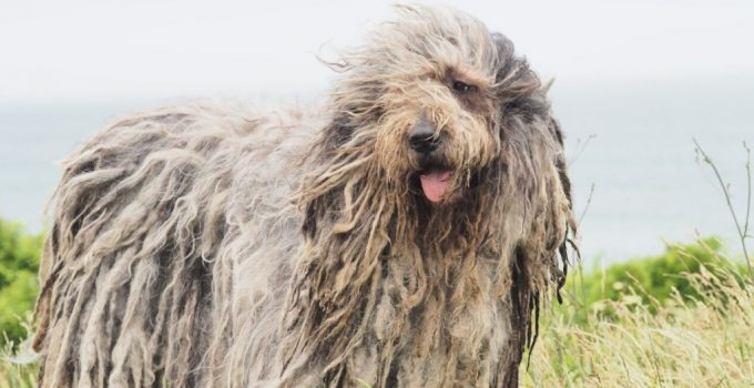Bergamasco Shepherd Dog Breed Information All You Need To Know