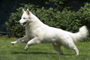 Berger Blanc Suisse Dog Breed Information All You Need To Know