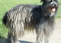 Berger des Pyrenees Dog Breed Information – All You Need To Know
