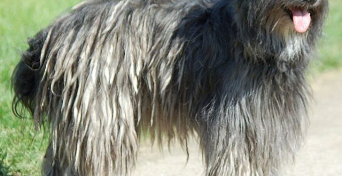 Berger Des Pyrenees Dog Breed Information All You Need To Know