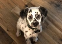 Best Dog Product For Dalmatian Springers
