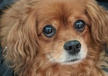 5 Best Dog Products For Cavapom (Reviews Updated 2021)