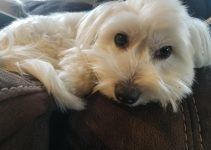 Best Dog Products For Coton Tzu