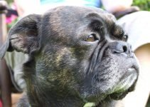 Best Dog Products For French Bull Tzus