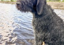 5 Best Dog Products For German Wirehaired Pointing Wolfhounds (Reviews Updated 2021)
