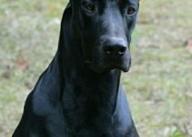 Best Dog Products For Doberdanes