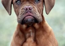 Best Dog Products For Dogue De Bordeaux