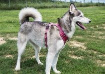 Best Dog Products For East Siberian Laika
