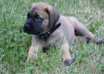 Best Dog Products For Englian Mastiffs