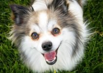 Best Dog Products For English Toy Papillon