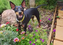 5 Best Dog Products for English Toy Terriers (Reviews Updated 2021)