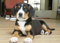 Best Dog Products For Entlebucher Pits