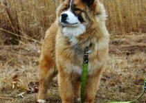 Berner Chow Dog Breed Information All You Need To Know