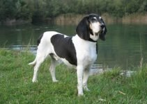 Berner Laufhund (Small Bernese Hound) Dog Breed Information – All You Need To Know