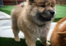 5 Best Dog Products For Eurasier (Reviews Updated 2021)
