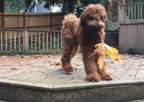 5 Best Dog Products For Flandoodle (Reviews Updated 2021)