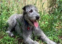 5 Best Dog Products For Giant Irish Wolf Schnauzers (Reviews Updated 2021)