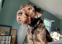 5 Best Dog Products For Giant Wire Hair Schnauzers (Reviews Updated 2021)