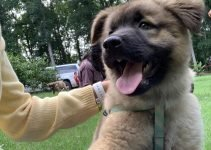 5 Best Dog Products For Golden Akita Retrievers (Reviews Updated 2021)