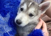 5 Best Dog Products For Husky Jacks (Reviews Updated 2021)