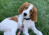 Best Dog Products For Irish Red And White Setter