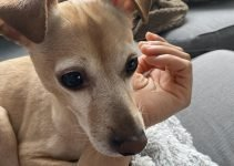 Best Dog Products For Italian Greyhuahua