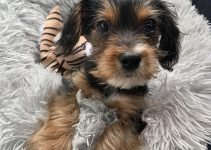 5 Best Dog Products For King Charles Yorkies (Reviews Updated 2021)