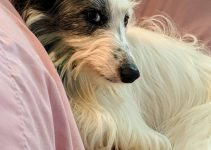 Best Dog Products For Longhaired Whippet