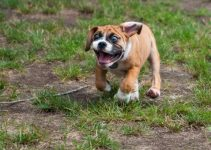 5 Best Dog Products For Miniature Bulldogs (Reviews Updated 2021)