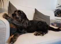 5 Best Dog Products For Miniature Irish Wolf Schnauzers (Reviews Updated 2021)