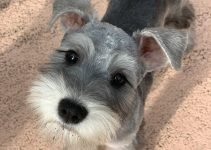 Best Dog Products For Miniature Schnauzzie