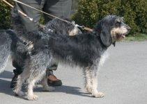 5 Best Dog Products for Griffon Bleu de Gascognes (Reviews Updated 2021)