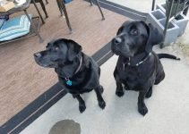 5 Best Dog Products for Labrador Corsos (Reviews Updated 2021)