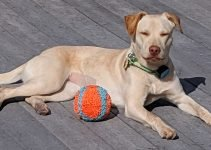 5 Best Dog Products for Labrastaffs (Reviews Updated 2021)