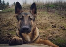 5 Best Dog Products for Malinois X (Reviews Updated 2021)