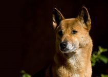 5 Best Dog Products for New Guinea Singing Dogs (Reviews Updated 2021)