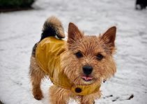 Best Dog Products For Norwich De Tulears