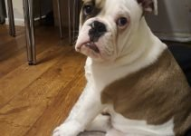 Best Dog Products For Olde English Bulldogges