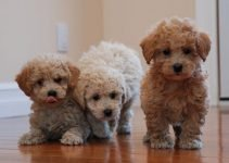 Bich Poo Dog Breed Information All You Need To Know