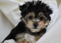 Bichon Yorkie Dog Breed Information – All You Need To Know