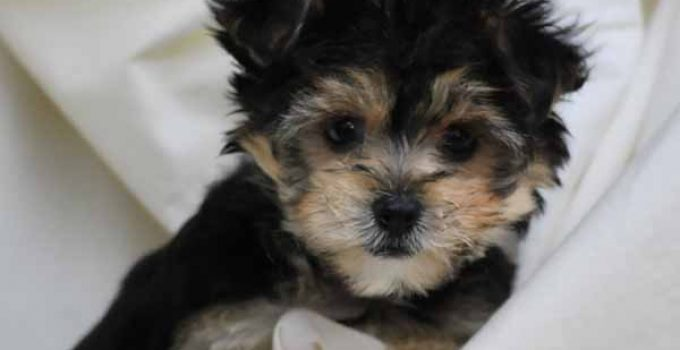 Bichon Yorkie Dog Breed Information All You Need To Know