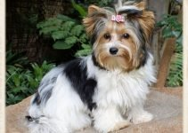 Biewer Terrier Dog Breed Information – All You Need To Know