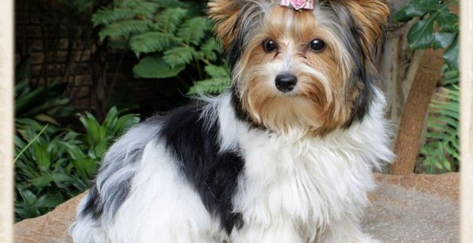 Biewer Terrier Dog Breed Information All You Need To Know