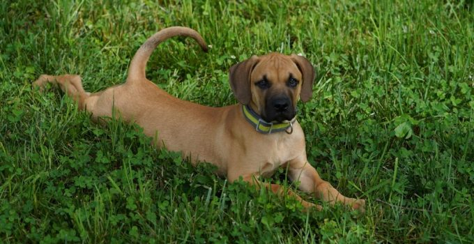 Black Mouth Cur Dog Breed Information All You Need To Know