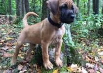 Black Mouth Pom Cur Dog Breed Information – All You Need To Know